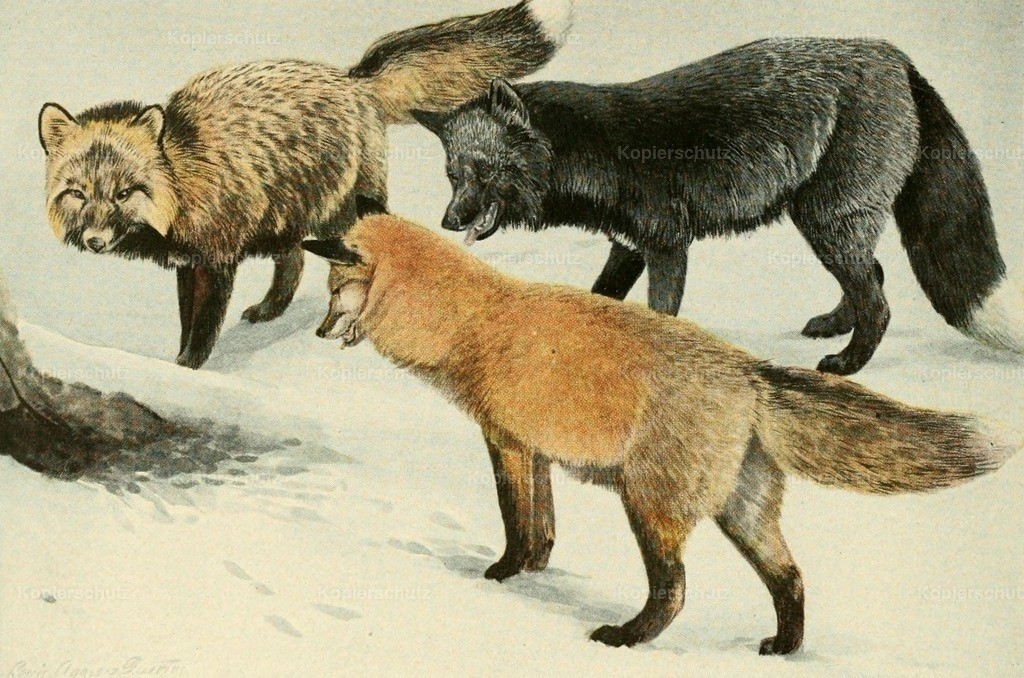 Fuertes_ L.A. (1874-1927) - Wild Animals of N. America 1918 - Foxes