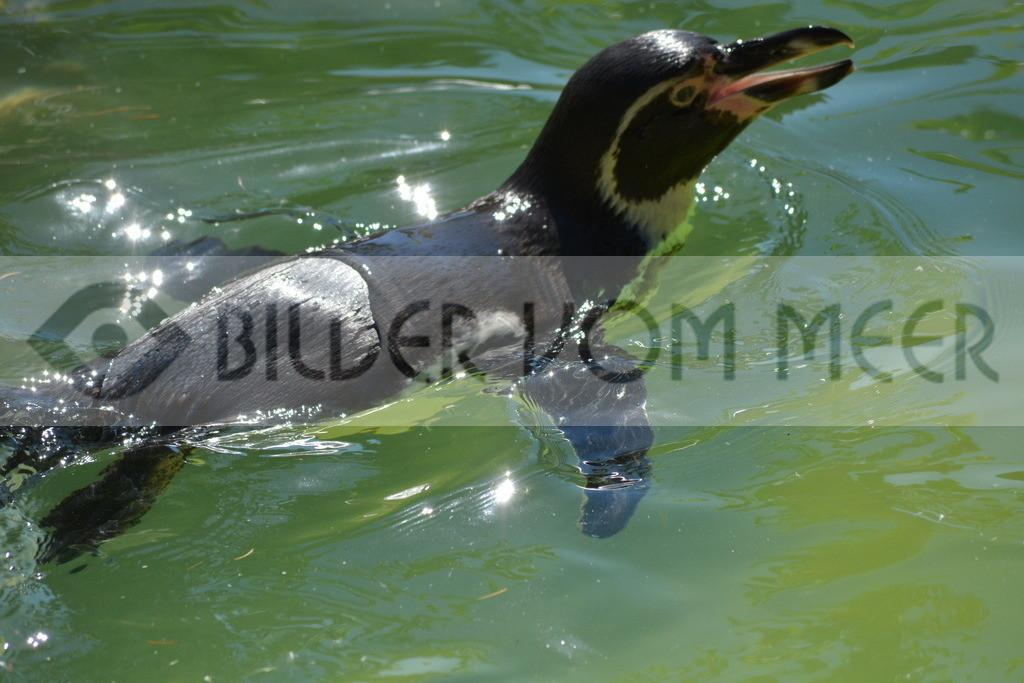 Pinguine Bilder | Foto Pinguin Bild Italien