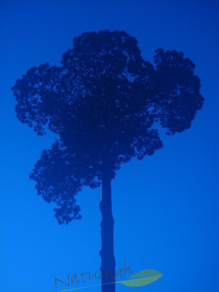 Klosterbaum zur blauen Stunde