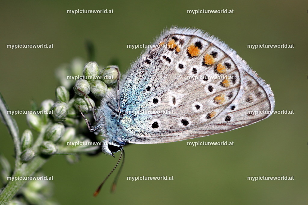 Polyommatus icarus-006