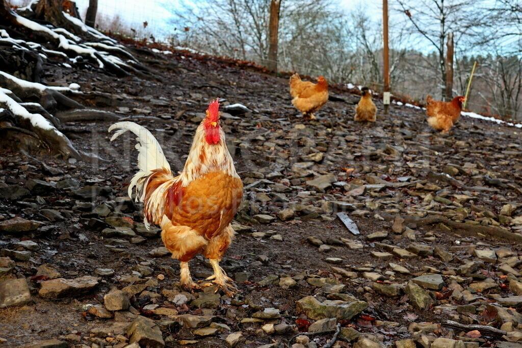 Hahn   Ein Hahn bei seinen Hühnern im Freilaufgehäge.