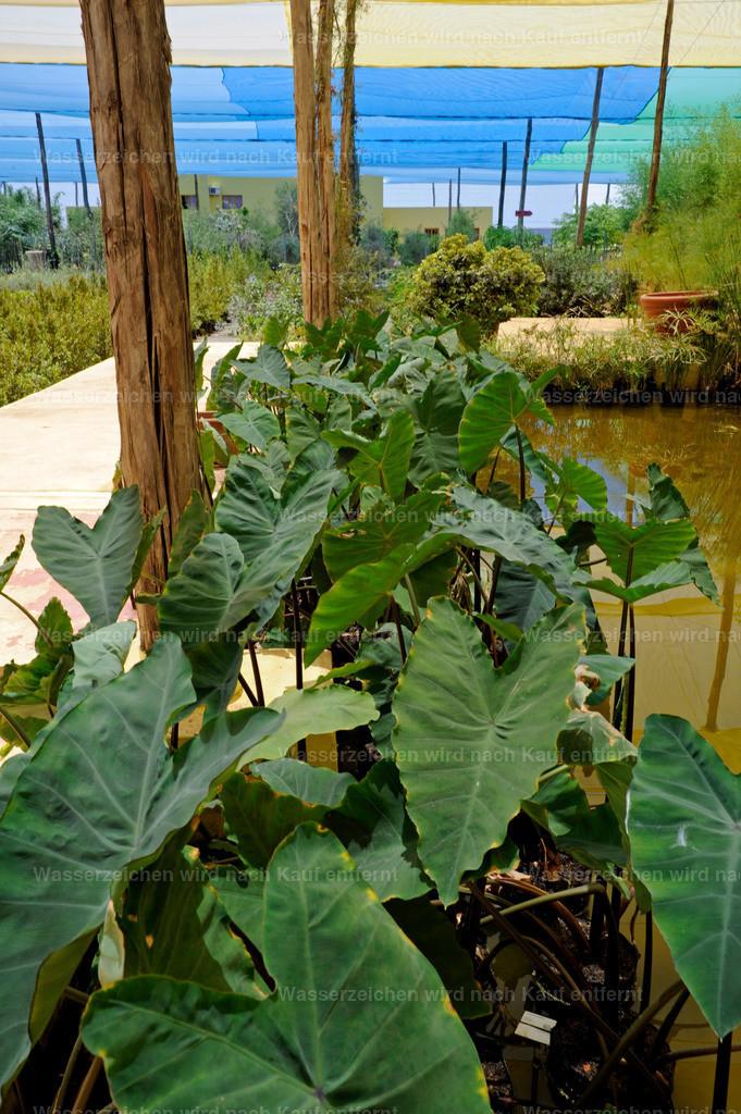 Marokkanische Pflanzen   Marokkanische Pflanzen