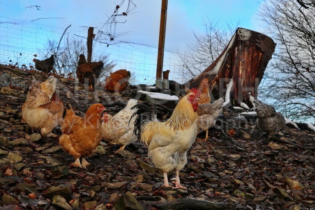 Hahn | Ein Hahn bei seinen Hühnern im Freilaufgehäge.