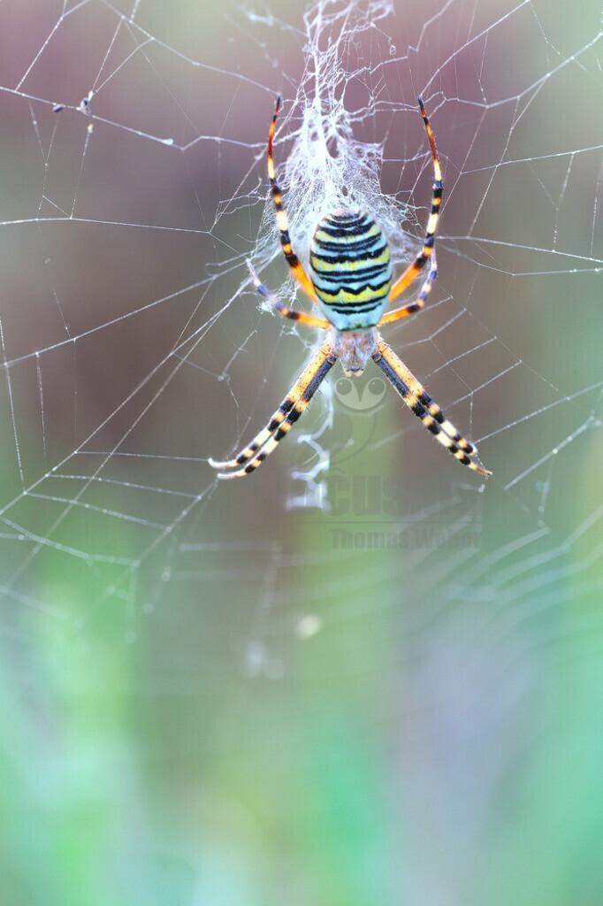 DC_8S7A5380   Die Wespenspinne ist eine Spinne aus der Familie der Echten Radnetzspinnen. Die große und sehr auffallend gezeichnete Art wurde 2001 zur Spinne des Jahres gewählt.