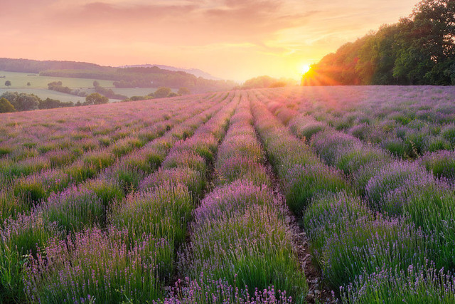 Traum in violett | Leider war der Lavendel Mitte Juni noch nicht vollständig aufgeblüht, aber er kämpfte dennoch tapfer mit dem Himmel um die Vorherrschaft der Farben.
