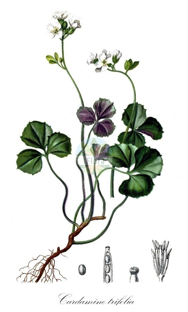 Historical drawing of Cardamine trifolia (Trefoil Cress) | Historical drawing of Cardamine trifolia (Trefoil Cress) showing leaf, flower, fruit, seed