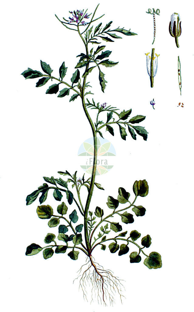 Cardamine hirsuta (Behaartes Schaumkraut - Hairy Bitter-cress) | Historische Abbildung von Cardamine hirsuta (Behaartes Schaumkraut - Hairy Bitter-cress). Das Bild zeigt Blatt, Bluete, Frucht und Same. ---- Historical Drawing of Cardamine hirsuta (Behaartes Schaumkraut - Hairy Bitter-cress).The image is showing leaf, flower, fruit and seed.