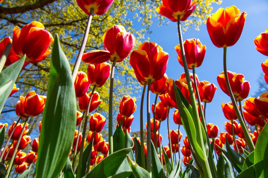 JT-160803-134 | viele Tulpen, Tulpenfeld, Tulpenbeet, gelb, rot,