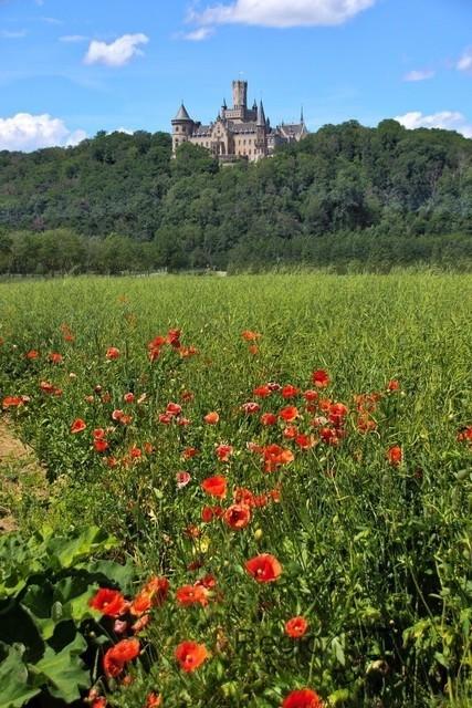 Mohnblumen vor der Marienburg | Mohnblumen blühen am Feldrand unterhalb der Marienburg