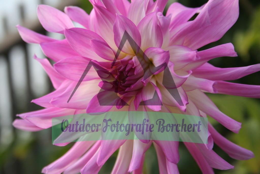 IMG_5062 | Dahlienblüte