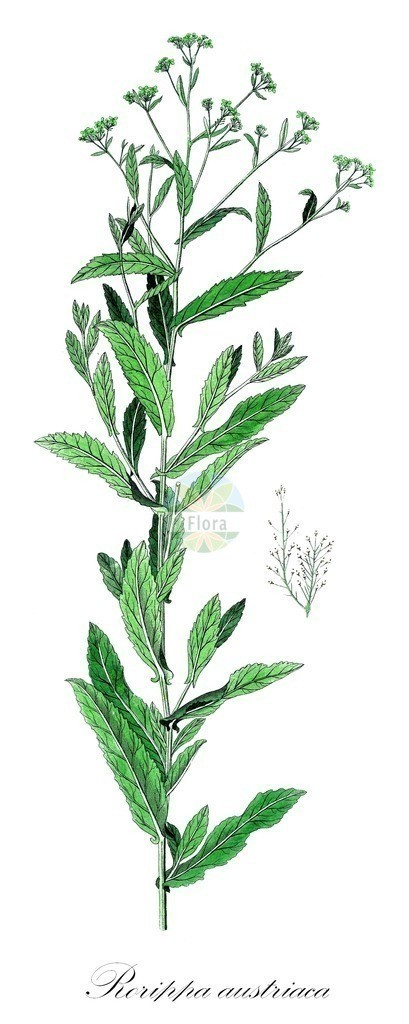 Historical drawing of Rorippa austriaca (Austrian Yellow-cress) | Historical drawing of Rorippa austriaca (Austrian Yellow-cress) showing leaf, flower, fruit, seed