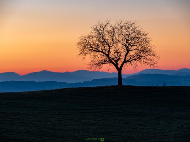Spring | Baum in Sonnenuntergang