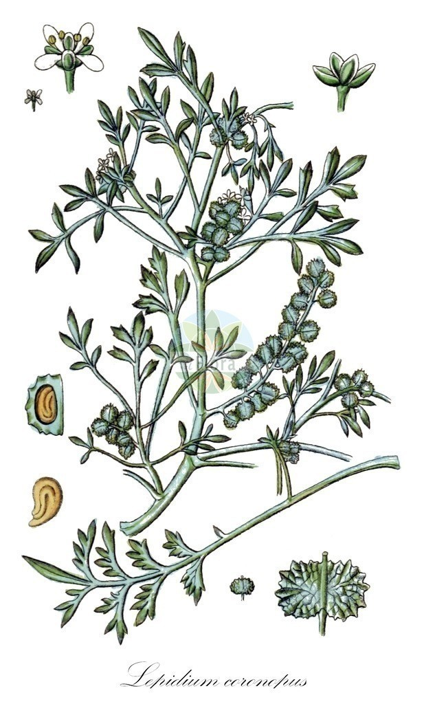 Historical drawing of Lepidium coronopus (Swine-cress)   Historical drawing of Lepidium coronopus (Swine-cress) showing leaf, flower, fruit, seed