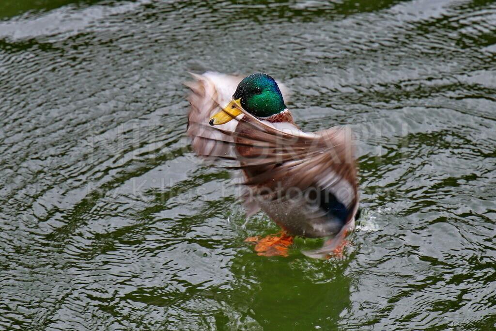 Ente läuft übers Wasser | Eine Ente läuft in Iserlohn über den Seilersee.