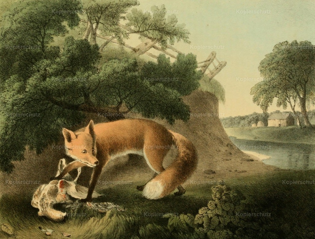 Doughty_ T. (1793-1856) - Cabinet of Natural History 1830 - Red Fox