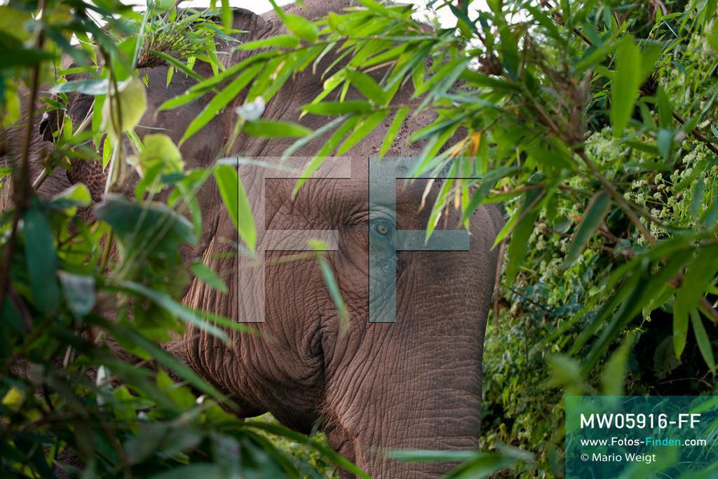MW05916-FF | Thailand | Goldenes Dreieck | Reportage: Mahut und Elefant - Ein Bündnis fürs Leben | Elefant im Dschungel   ** Feindaten bitte anfragen bei Mario Weigt Photography, info@asia-stories.com **