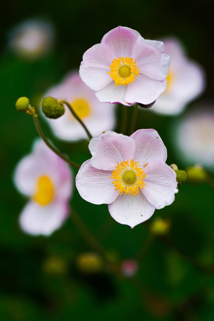 Herbst-Anemone - Anemone hupehensis | Blüten einer Herbst-Anemone (Anemone hupehensis).