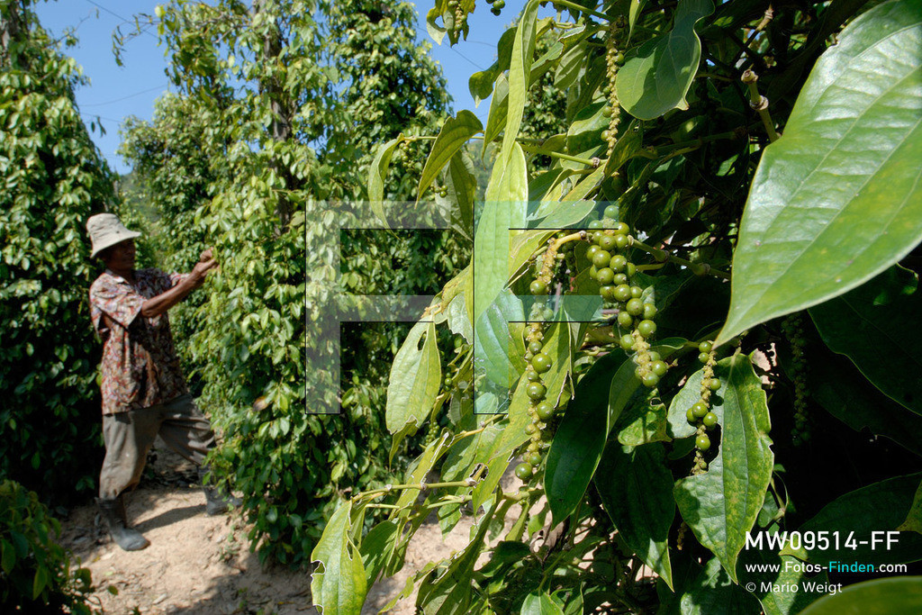 MW09514-FF | Kambodscha | Kampot | Reportage: Pfeffer aus Kampot | Besitzer einer Pfefferplantage bei Kep prüft die Qualität der grünen Pfefferbeeren. In der Umgebung von Kampot und Kep gibt es zahlreiche Pfefferplantagen.   ** Feindaten bitte anfragen bei Mario Weigt Photography, info@asia-stories.com **