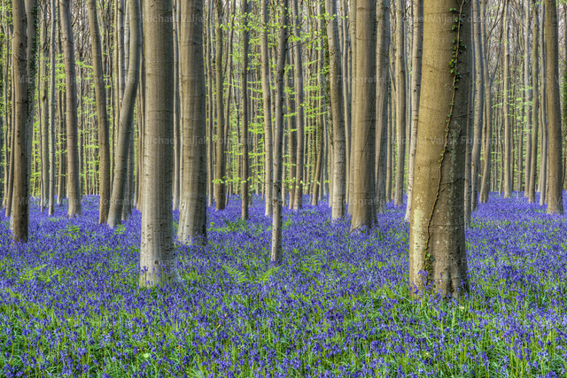 Magischer blauer Wald | Fühling im Hallerbos bei Brüssel in Belgien. Jedes Frühjahr in der Zeit zwischen Mitte April bis Anfang Mai blühen Millionen von Hasenglöcken zwischen den noch nicht bzw. sehr spärlich belaubten Buchen.