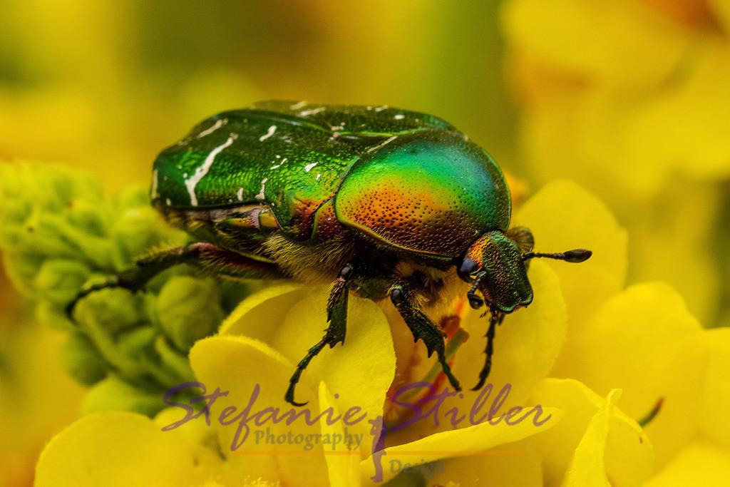 Goldglänzender Rosenkäfer - Skarabäus | Insekt des Jahres 2000