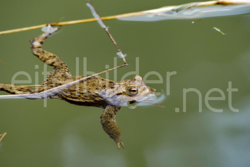 Frosch im Wasser (Grasfrosch) | Grasfrosch (Rana temporaria), fotografiert bei Daun in der Vulkaneifel.