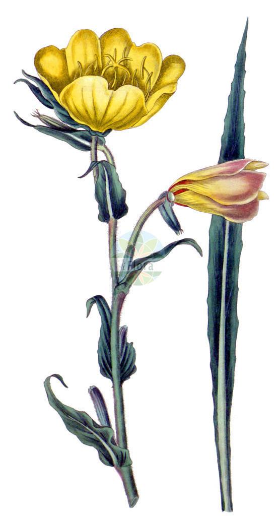 Oenothera odorata | Historische Abbildung von Oenothera odorata. Das Bild zeigt Blatt, Bluete, Frucht und Same. ---- Historical Drawing of Oenothera odorata.The image is showing leaf, flower, fruit and seed.
