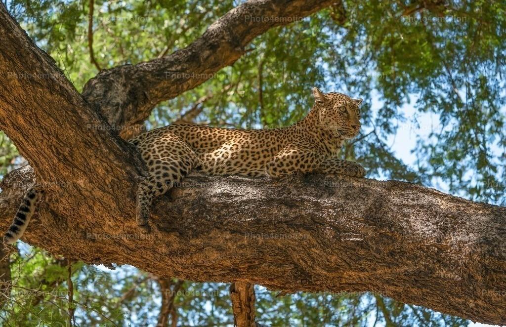 """GRO06547   South Luangwa und Lower Sambesi Nationalparks zählen zu den grossartigsten Nationalparks Afrikas und sind ein unbestrittenes """"MUST"""" für Tier- und Naturliebhaber während einer Sambia-Reise!"""