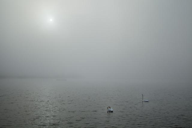 Zwei Schwäne im Nebel | Zwei Schwäne im Nebel an einem Sonntag Morgen im September im Naturschutzgebiet Niederspree.