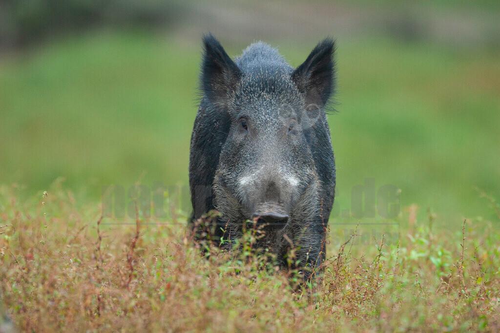 20070831190544   Wildschweine sind nicht nur urig und wehrhaft, sondern vor allem sehr anpassungsfähig. Das machte sie zum Gewinner in unserer Kulturlandschaft. Durch milde Winter, Futter im Überfluss und viele neue Verstecke durch den zunehmenden Maisanbau haben die schlauen Sauen ihre Population in den vergangenen Jahrzehnten vervielfacht.