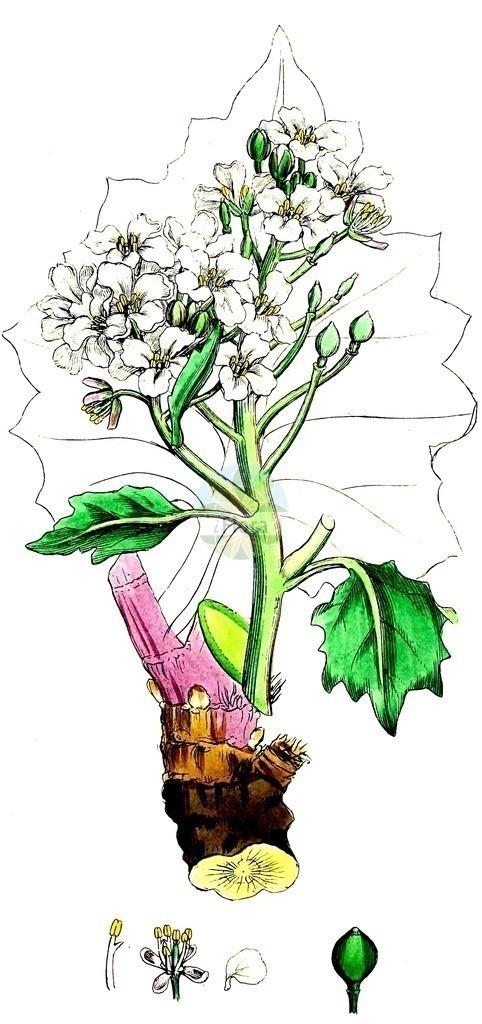 Crambe maritima (Echter Meerkohl - Sea-kale)   Historische Abbildung von Crambe maritima (Echter Meerkohl - Sea-kale). Das Bild zeigt Blatt, Bluete, Frucht und Same. ---- Historical Drawing of Crambe maritima (Echter Meerkohl - Sea-kale).The image is showing leaf, flower, fruit and seed.