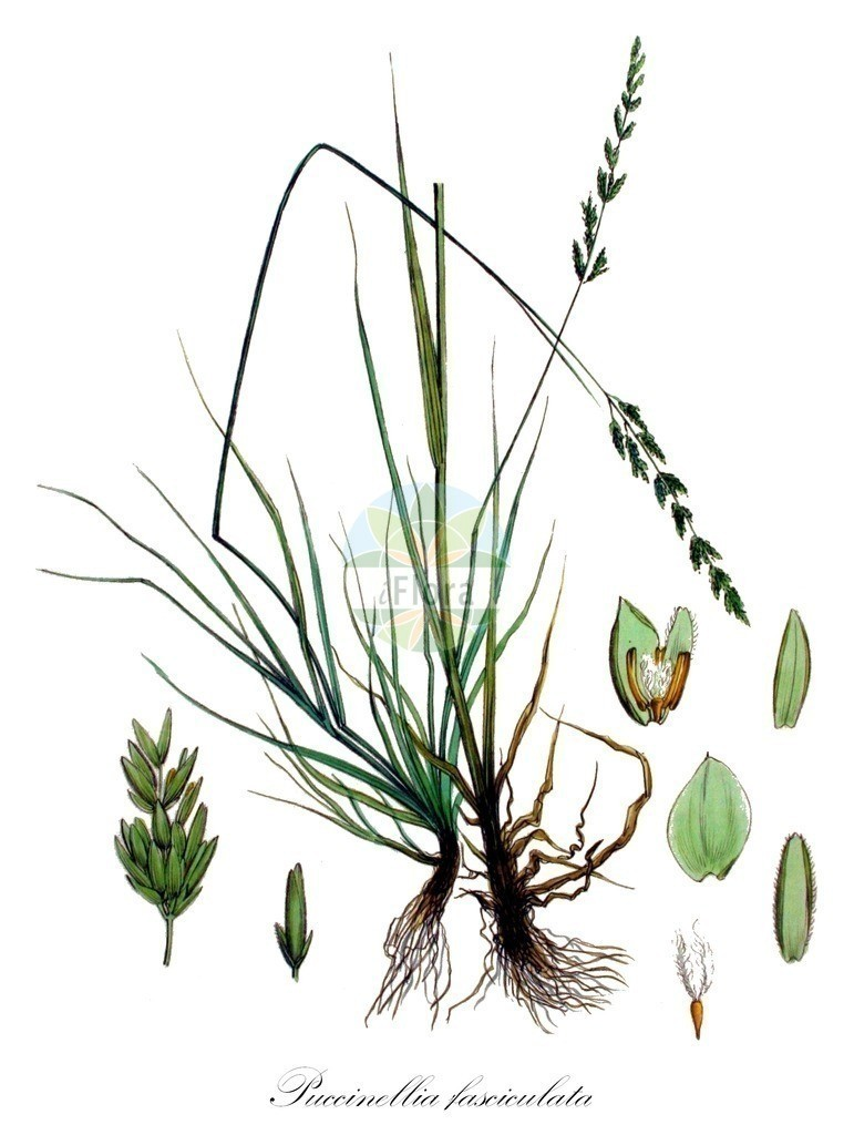 Historical drawing of Puccinellia fasciculata (Alkaligrass) | Historical drawing of Puccinellia fasciculata (Alkaligrass) showing leaf, flower, fruit, seed