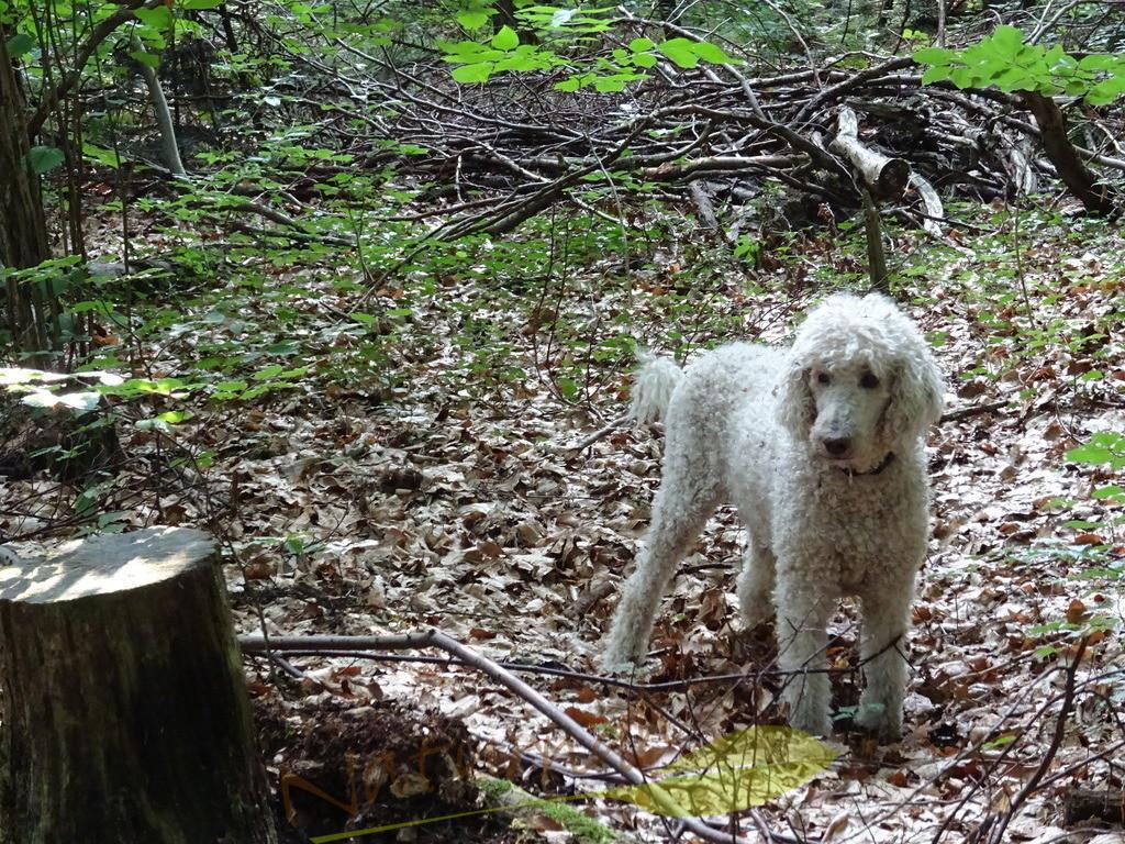 Pudel im Wald | Outdoor-Königspudel im Wald. Das fragende Gesicht sagt: