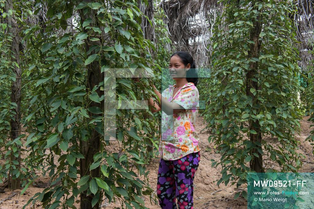 MW09521-FF | Kambodscha | Kampot | Reportage: Pfeffer aus Kampot | Pflückerin in einer Pfefferplantage. In der Umgebung von Kampot und Kep gibt es zahlreiche Pfefferplantagen.   ** Feindaten bitte anfragen bei Mario Weigt Photography, info@asia-stories.com **