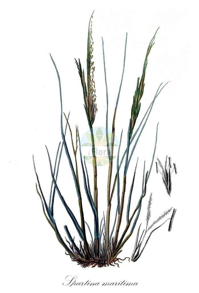 Historical drawing of Spartina maritima (Cordgrass) | Historical drawing of Spartina maritima (Cordgrass) showing leaf, flower, fruit, seed