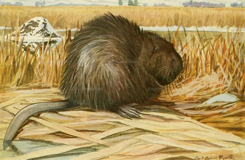Fuertes_ L.A. (1874-1927) - Wild Animals of N. America 1918 - Muskrat