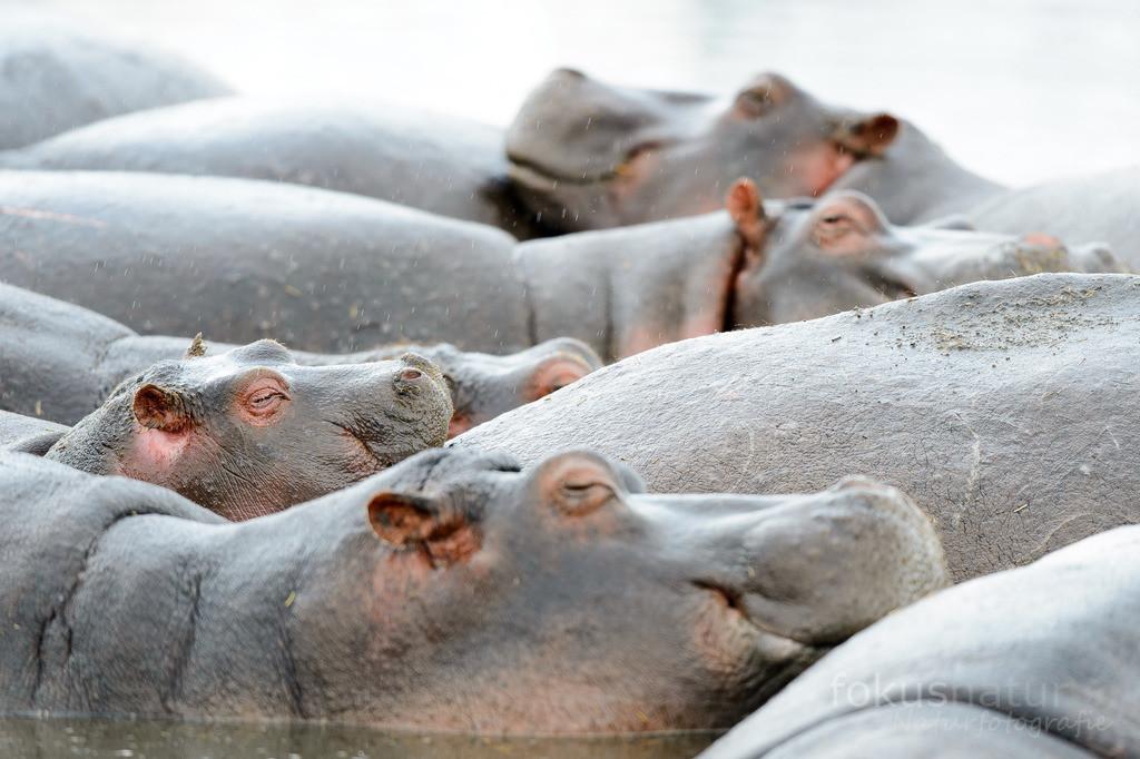 Hippofamilie | Flusspferde schmiegen sich in einem Wasserloch aneinander.