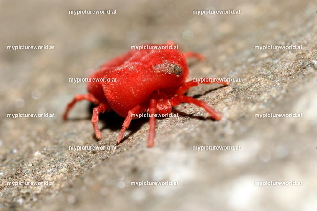 Rote Samtmilbe-002