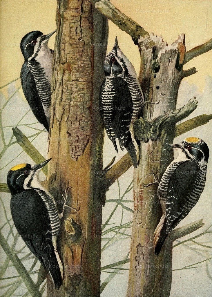 Fuertes_ L.A. (1874-1927) - Birds of Massachusetts 1925 - Three-toed Woodpeckers
