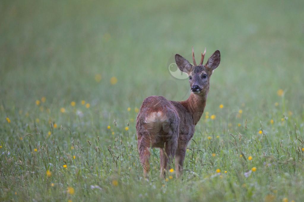 20140503_064900-2  | Das Reh, zur Unterscheidung vom Sibirischen Reh auch Europäisches Reh genannt, ist die in Europa häufigste und kleinste Art der Hirsche. Als Trughirsch ist es näher mit Ren, Elch und dem amerikanischen Weißwedelhirsch verwandt als mit dem in Mitteleuropa ebenfalls heimischen Rothirsch.