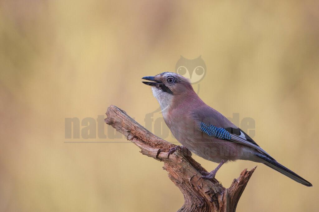 20081214111039 | Der Eichelhäher ist ein Singvogel aus der Familie der Rabenvögel. Er ist über Europa, Teile Nordafrikas und des Nahen Ostens sowie in einem breiten Gürtel durch Asien und dort südwärts bis nach Indochina verbreitet.