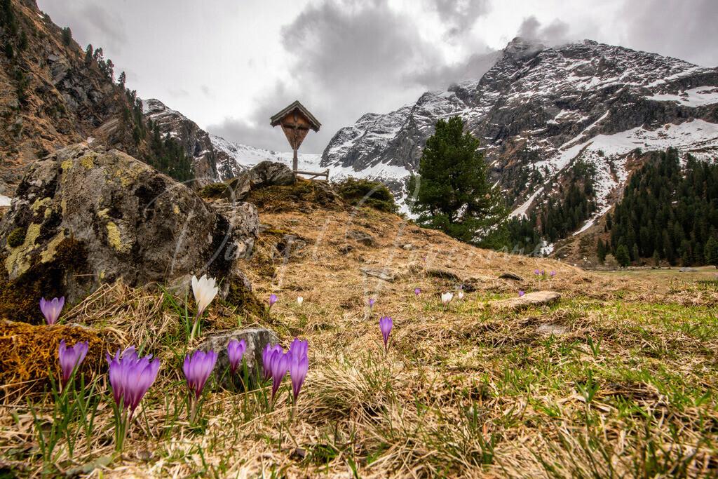 Frühling in Lüsens | Krokusblüte und der Lüsener Fernerkogel