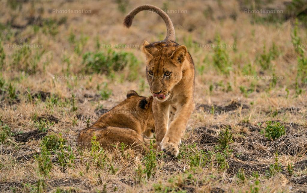 """GRO05317   South Luangwa und Lower Sambesi Nationalparks zählen zu den grossartigsten Nationalparks Afrikas und sind ein unbestrittenes """"MUST"""" für Tier- und Naturliebhaber während einer Sambia-Reise!"""