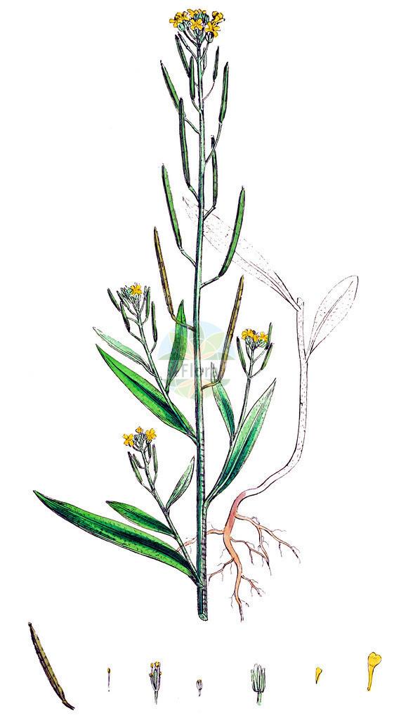 Erysimum cheiranthoides (Acker-Schoeterich - Treacle-mustard)   Historische Abbildung von Erysimum cheiranthoides (Acker-Schoeterich - Treacle-mustard). Das Bild zeigt Blatt, Bluete, Frucht und Same. ---- Historical Drawing of Erysimum cheiranthoides (Acker-Schoeterich - Treacle-mustard).The image is showing leaf, flower, fruit and seed.
