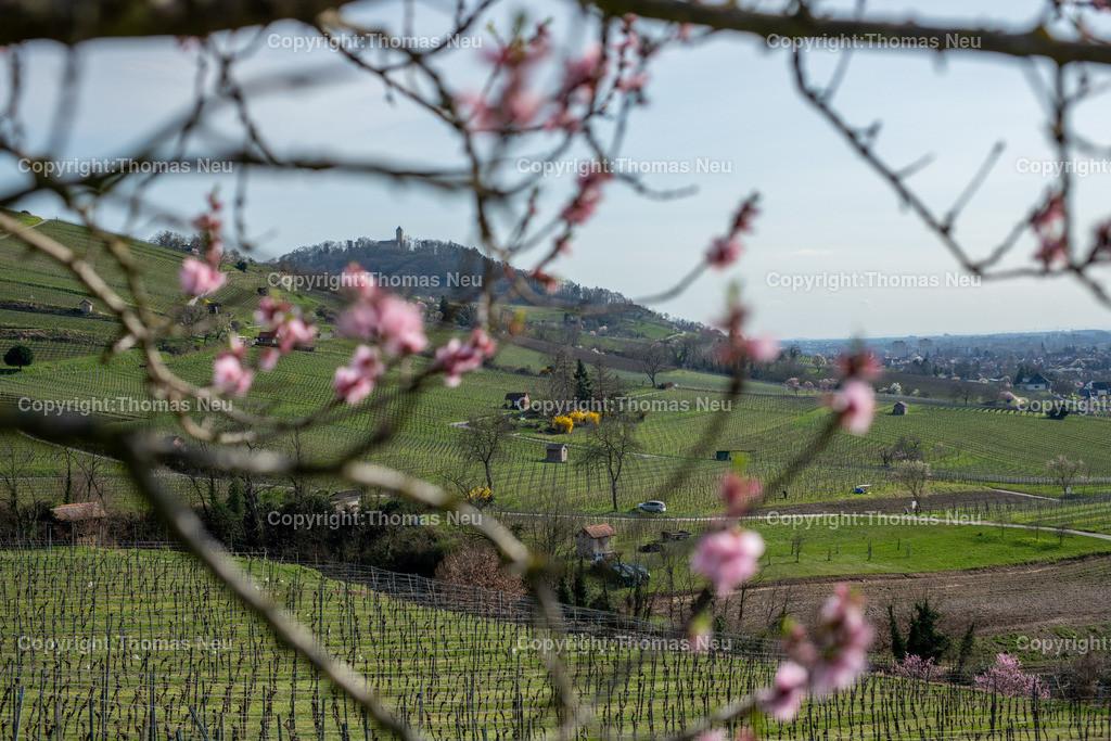 DSC_4775   Bensheim, Weinberge zwischen Bensheim und Heppenheim, es ist die schönste Jahreszeit an der Bergstraße, die Mandelblüte verzaubert, die Weinberge laden zum bei warmen Tepmeraturen zum Spaziergang ein,  Bild: Thomas Neu