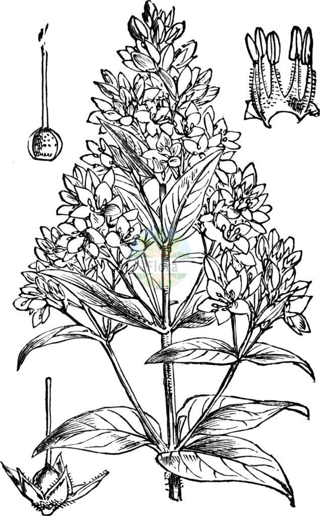 Lysimachia vulgaris (Gewoehnlicher Gilbweiderich - Yellow Loosestrife) | Historische Abbildung von Lysimachia vulgaris (Gewoehnlicher Gilbweiderich - Yellow Loosestrife). Das Bild zeigt Blatt, Bluete, Frucht und Same. ---- Historical Drawing of Lysimachia vulgaris (Gewoehnlicher Gilbweiderich - Yellow Loosestrife).The image is showing leaf, flower, fruit and seed.