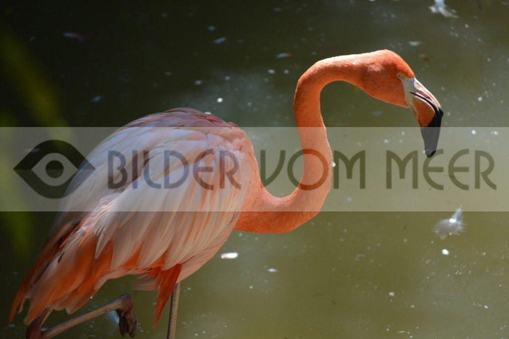 Flamingo Art Bilder | Rotger Flamingo Art Bilder