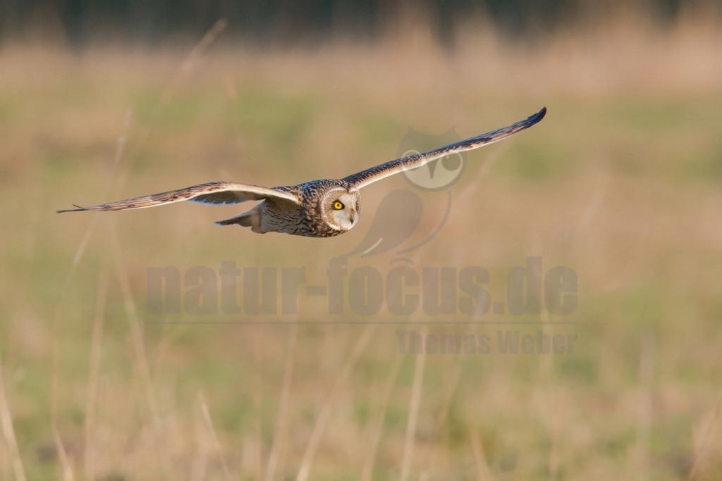 20160216-NFOC8436 Kopie | Die Sumpfohreule (Asio flammeus) ist eine Vogelart aus der Gattung der Ohreulen (Asio) innerhalb der Familie der Eigentlichen Eulen (Strigidae). Ihre kurzen Federohren sind meist angelegt und somit nicht sichtbar. Der englische Name Short Eared Owl betont dieses Merkmal, während der deutsche die Lebensraumpräferenzen der Art für Feucht- und Marschgebiete unterstreicht.