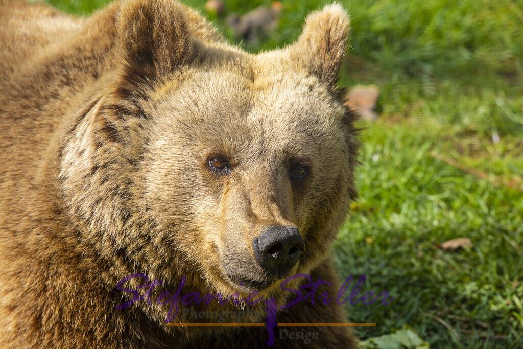 Lächelnder Bär