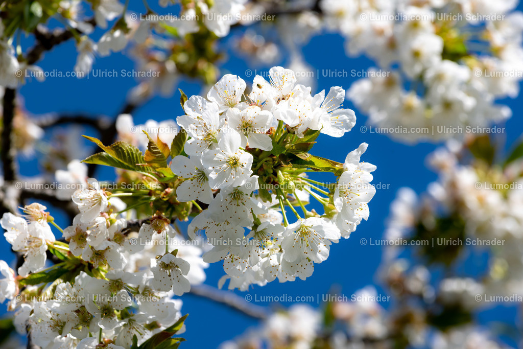 10049-10703 - Baumblüte im Harzvorland   max. Auflösung 8256 x 5504