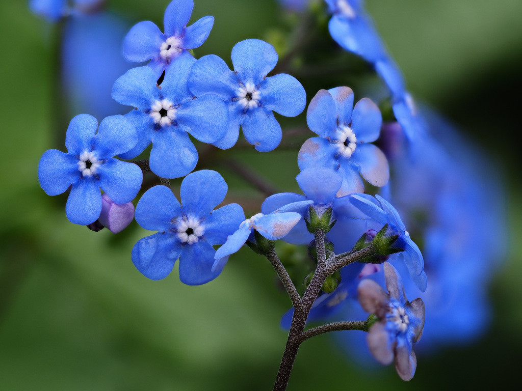 Großblättriges Kaukasusvergissmeinnicht - Brunnera macrophylla | Blaue Blüten eines Großblättrigen Kaukasusvergissmeinnicht (Brunnera macrophylla).